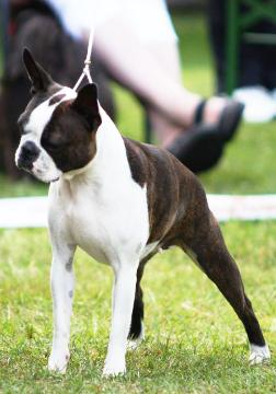 brindle boston terrier